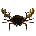 Westin-Coco-the-Crab-rapujigi--2-cm-6-g